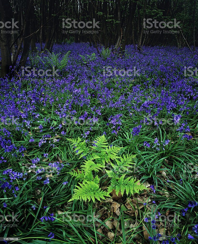 Bluebell woodland with ferns royalty-free stock photo