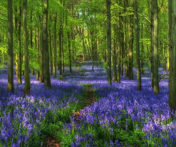 bluebell woods, frühling, großbritannien, hertfordshire. hockey-holz - teppich englisch stock-fotos und bilder