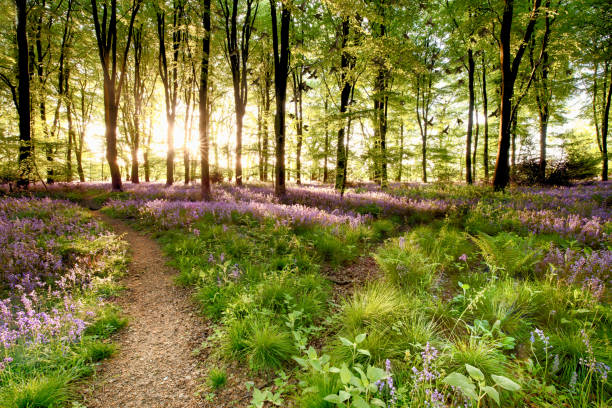 Bluebell woods with birds flocking picture id915868276?b=1&k=6&m=915868276&s=612x612&w=0&h=8czpponpzpow lzh4j4m0kq4lhcfijg fkkmmf2qxye=
