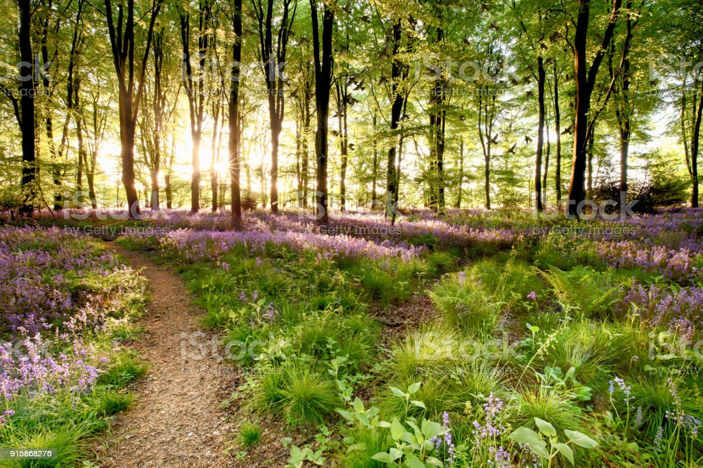 Bluebell woods with birds flocking stock photo