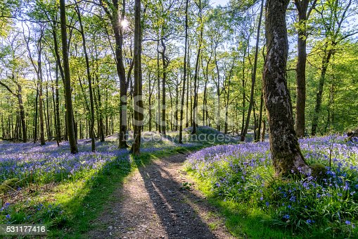 istock Bluebell woods with shadows of trees and beautiful spring light. 531177416