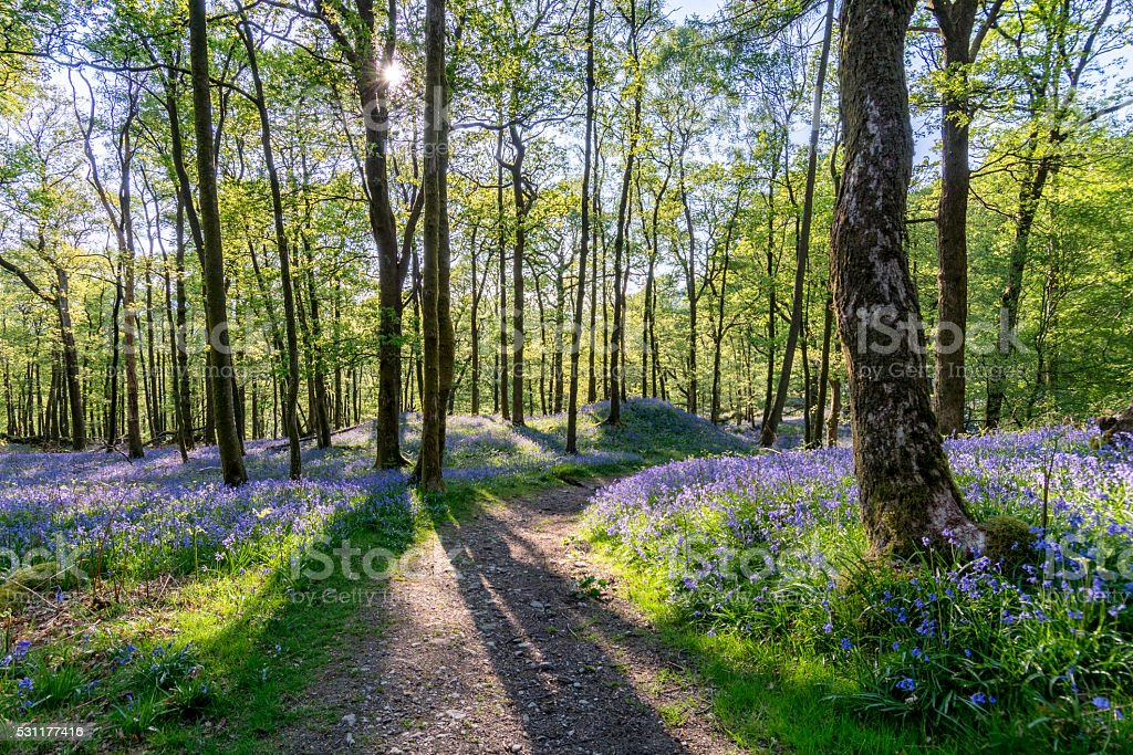 Bluebell woods with shadows of trees and beautiful spring light. stock photo