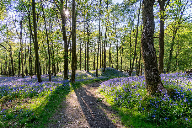 Bluebell woods with shadows of trees and beautiful spring light. A wide angle view of a beautiful Bluebell forest in the English Lake District. Spring evening sunlight can be seen entering the forest through the trees producing long shadows of the trees and stunning crisp light on the foliage with a path that leads through the forest. bluebell stock pictures, royalty-free photos & images