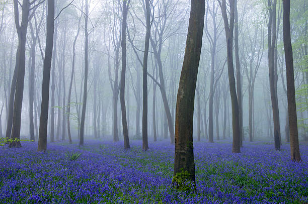 Bluebells and mist in beech woodland in England, UK Bluebells and mist in beech woodland in England, UK bluebell stock pictures, royalty-free photos & images