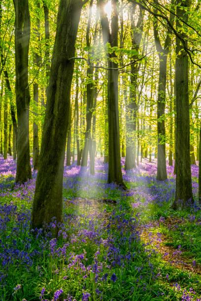 Bluebells and sunbeams in an english beechwood picture id803677116?b=1&k=6&m=803677116&s=612x612&w=0&h=ls g nrctljdouih0jjnpvari0l yojbx0k9wukfq6o=