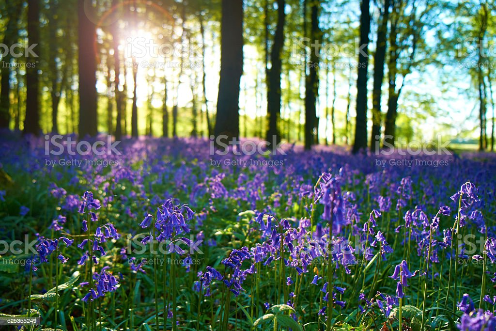 Bluebells At Dawn stock photo