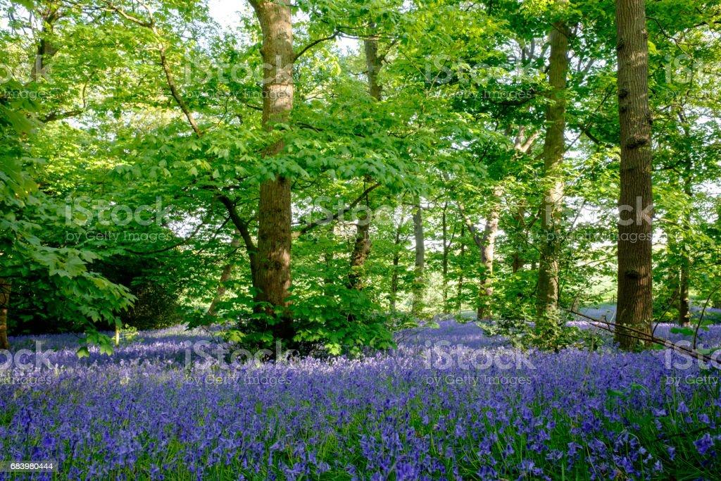 Bluebells at Lickey Hill Country Park stock photo