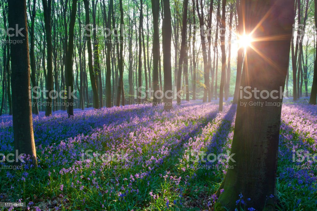 Bluebells at sunrise stock photo