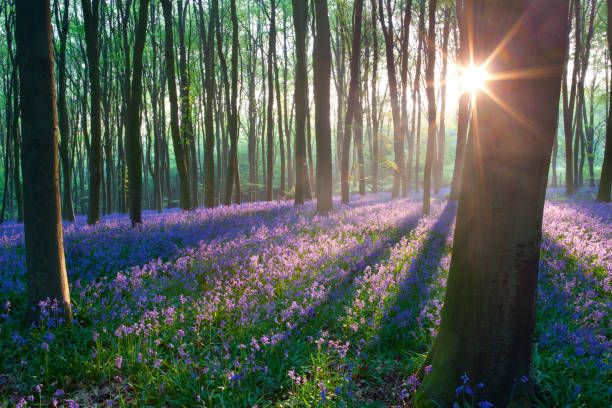 Bluebells at sunrise Sunrise in a bluebell wood, Hampshire, U.K bluebell stock pictures, royalty-free photos & images