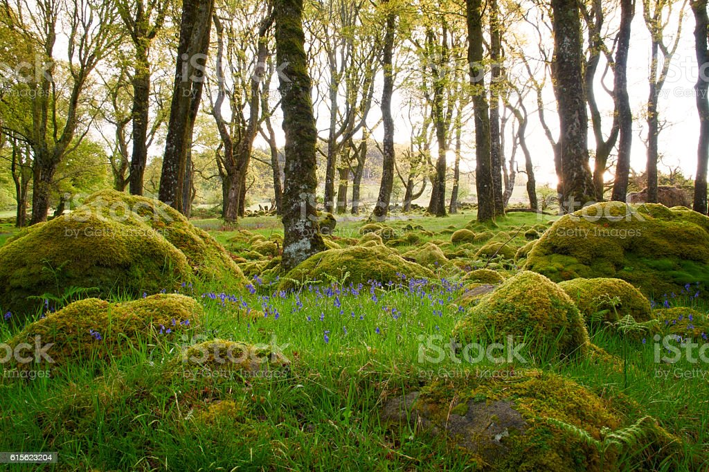 Bluebells bathing in the morning sun surrounded by mossy forest foto