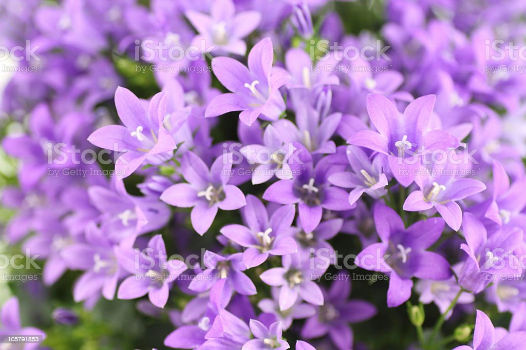 bluebells /  Campanula carpatica royalty-free stock photo