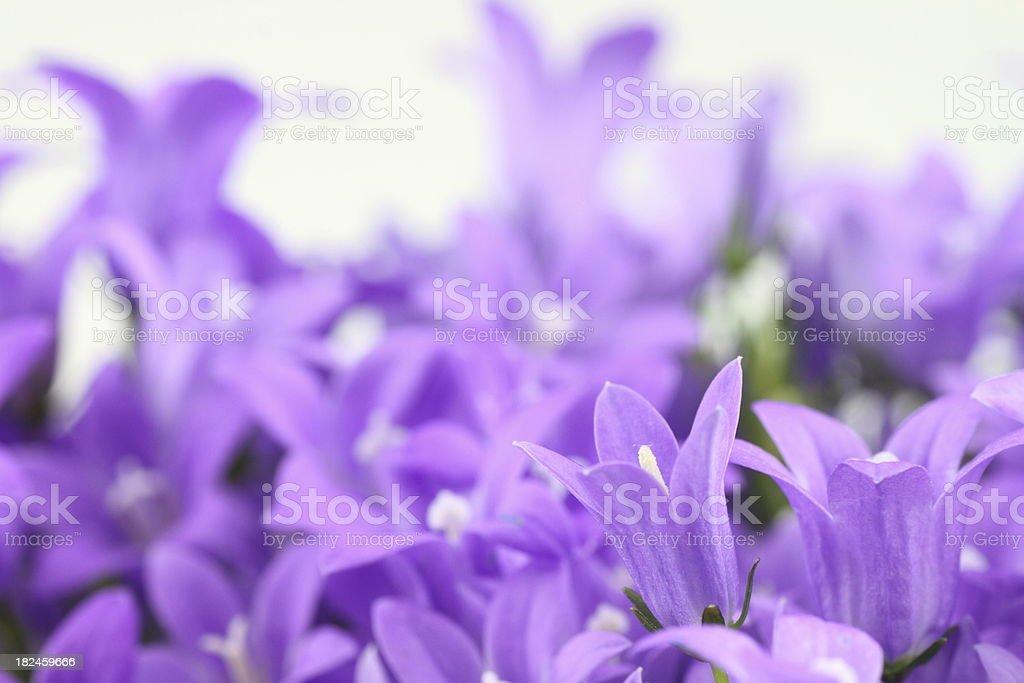 bluebells Clos de campánula carpatica foto de stock libre de derechos