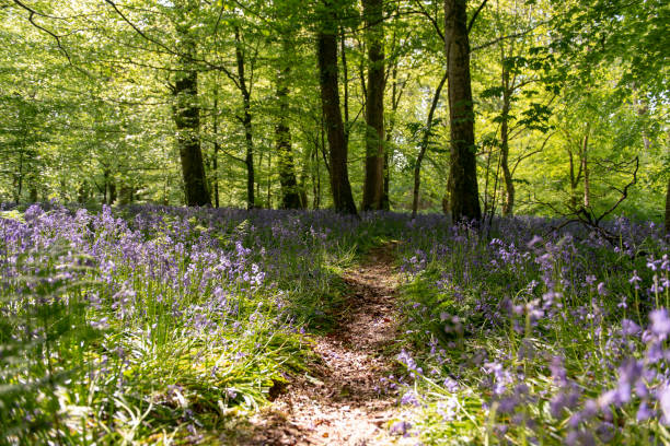 Bluebells field in the forest with walking path in the middle stock photo