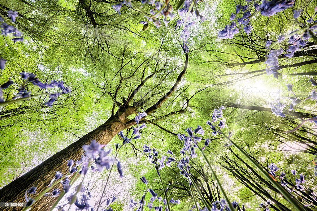 Bluebells from worms eye view stock photo