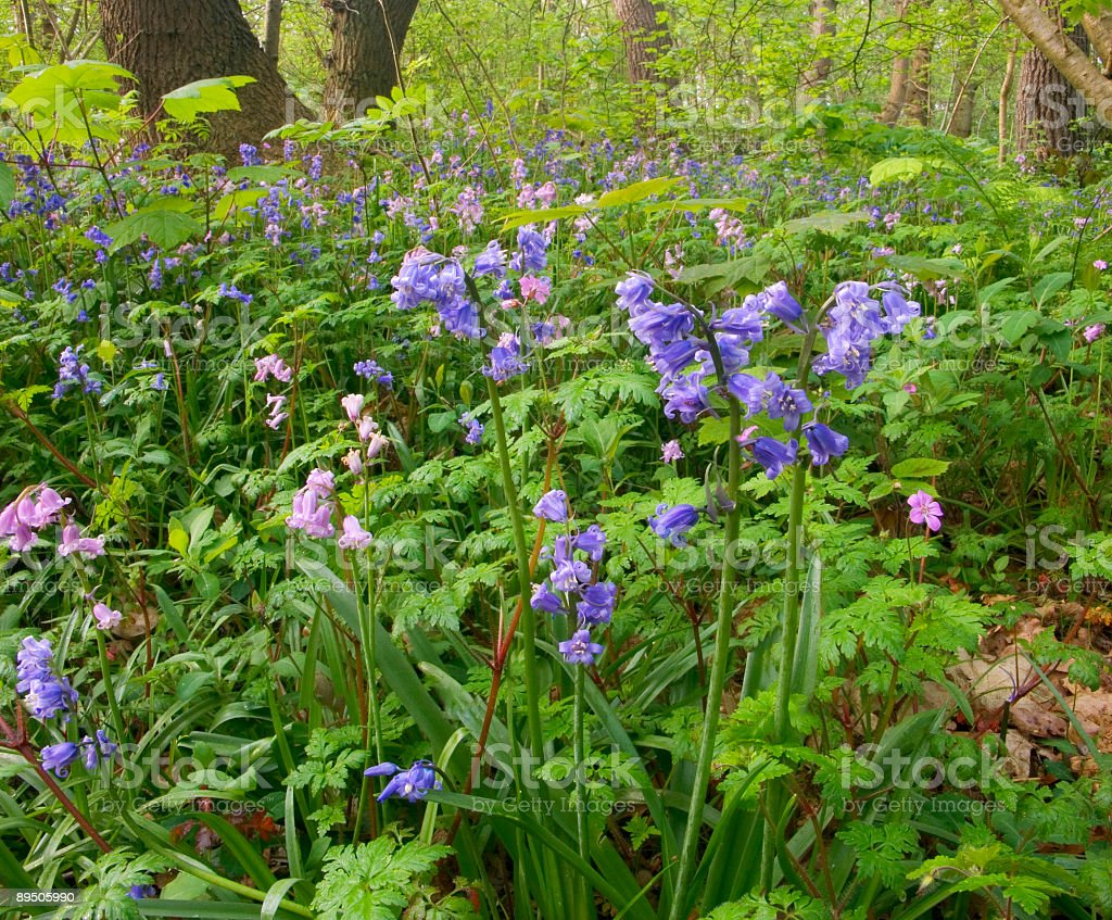 Bluebells in a forest 免版稅 stock photo