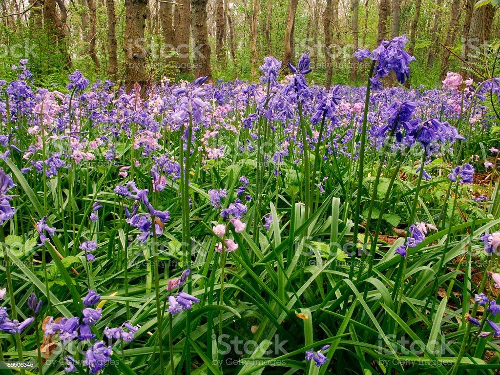 Bluebells dans une forêt photo libre de droits