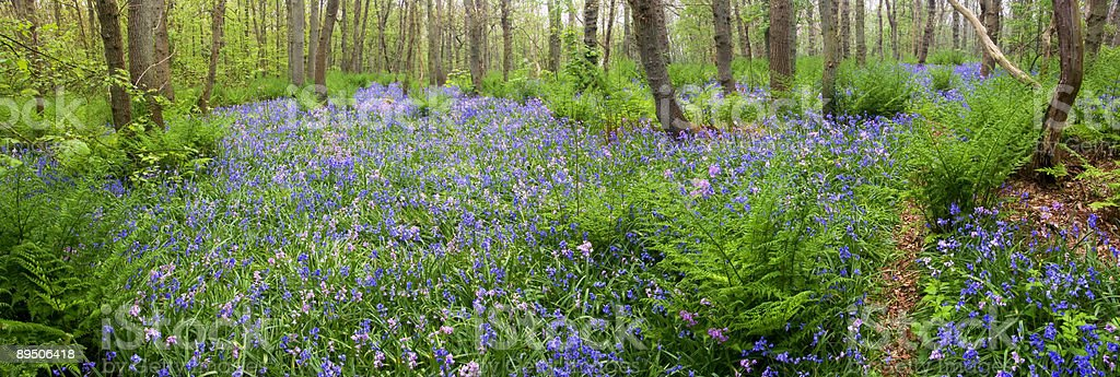 Bluebells in a forest royalty-free stock photo