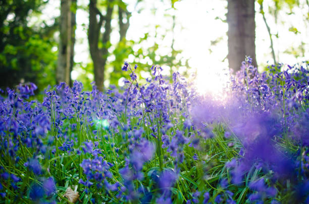 Bluebells in a nature forest photographed as background with copy space The photo of bluebells in bloom in a bluebell wood was taken outdoors in woodlands in England in the early evening. bluebell stock pictures, royalty-free photos & images