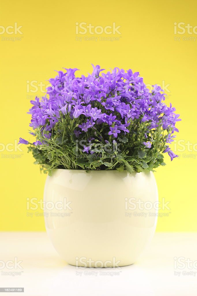bluebells in a yellow pot/  Campanula carpatica royalty-free stock photo