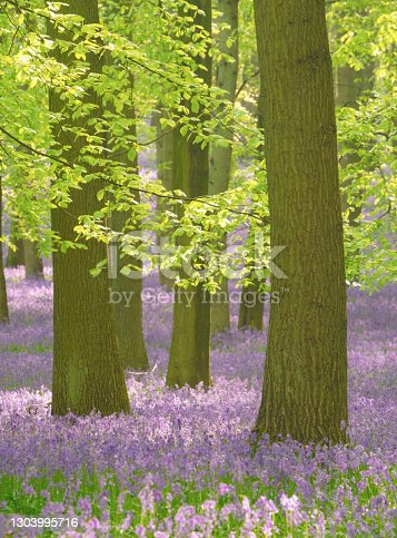 Springtime in the English countryside, and bluebells bring more colour to a glorious beechwood.