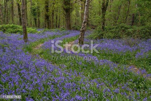 English Bluebells carpet an ancient Woodland
