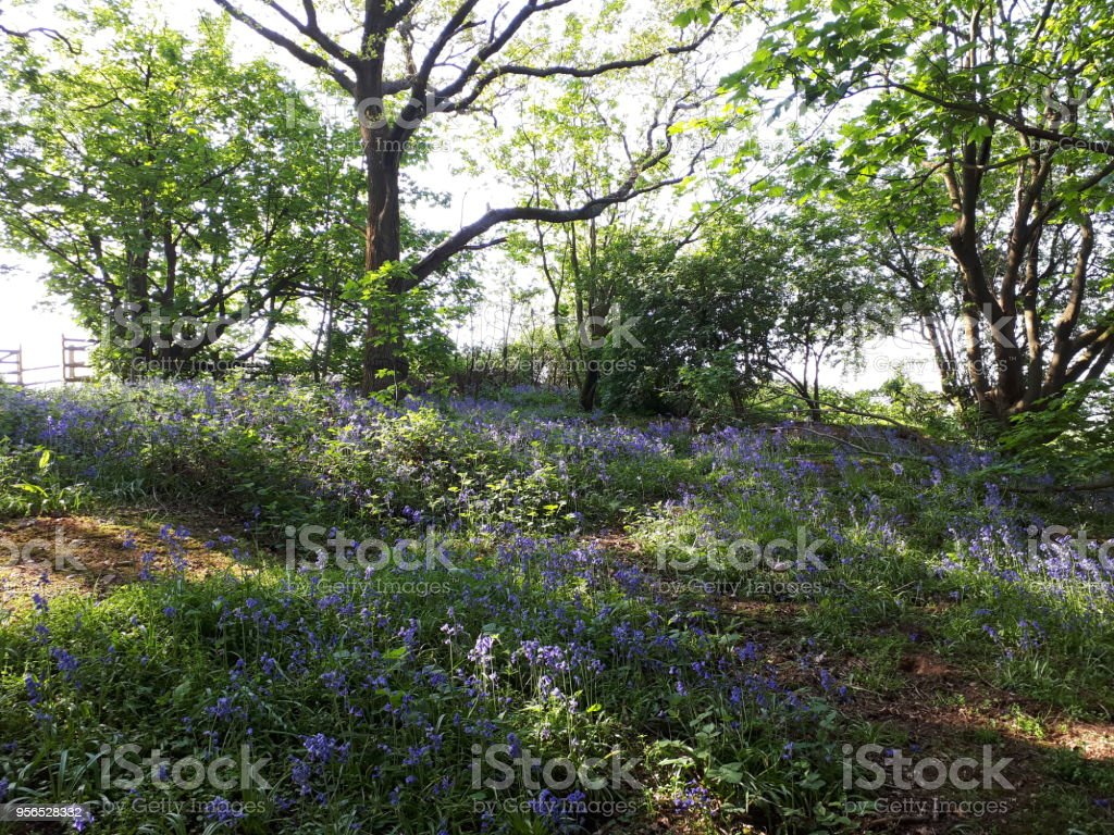 Glockenblumen in alten Wald Wald - Lizenzfrei Baum Stock-Foto