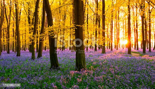 Bluebells growing in a beechwood, though the leaves on the trees are more Autumnal in colour than Springlike. Concept image on the subject of climate change and unpredictable weather.