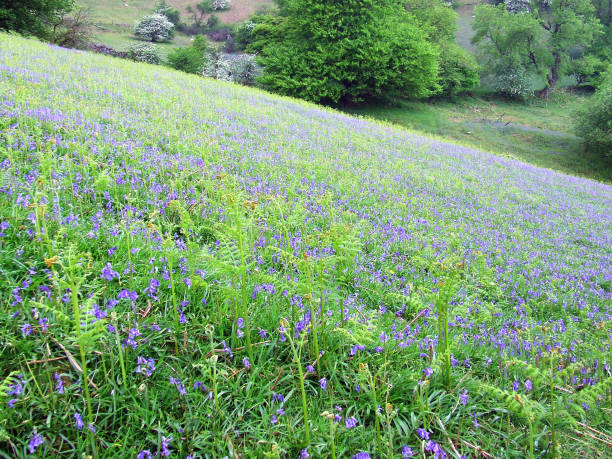 Bluebells in blossom on the lower slopes of Blorenge in the Brecon Beacons National Park, Monmouthshire, Wales stock photo