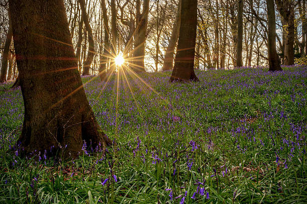 Bluebells in Bradenham Woods Bluebells in Bradenham Woods near High Wycombe in Buckinghamshire.  Taken at sunset in mid April 2016. buckinghamshire stock pictures, royalty-free photos & images