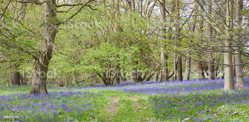 Bluebells in Butley Woods, Suffolk stock photo