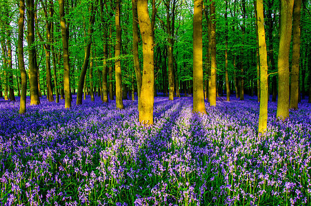 Bluebells in Dockey Wood Bluebells in Dockey Wood, Berkhamsted, Buckinghamshire, England bluebell stock pictures, royalty-free photos & images