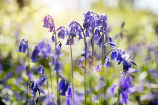 Bluebells in spring forest Bluebells hyacinthoides non-scripta spring nature background bluebell stock pictures, royalty-free photos & images