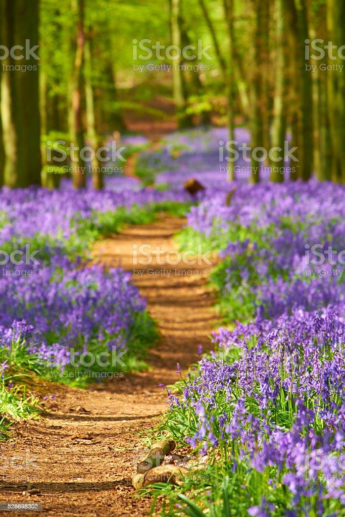 Bluebells In Springtime stock photo
