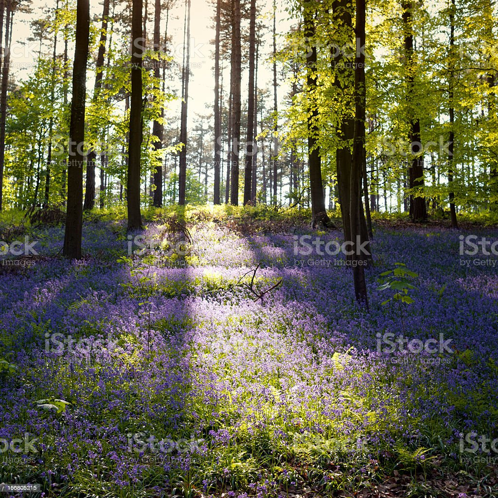 Bluebells in the forest in Hallerbos,Brussels,Belgium royalty-free stock photo