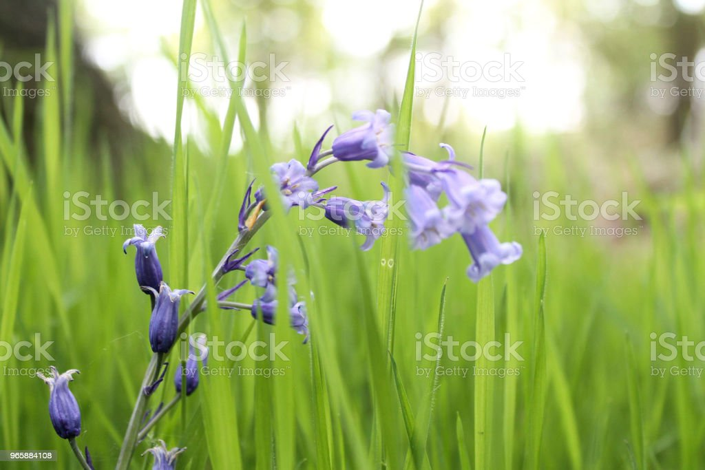 Bluebells in the grass Bluebell flowers in a patch of bright green grass. Beauty In Nature Stock Photo
