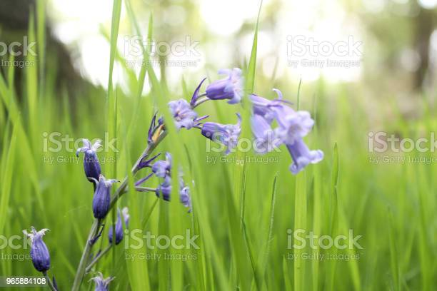 Bluebells In The Grass Stock Photo - Download Image Now