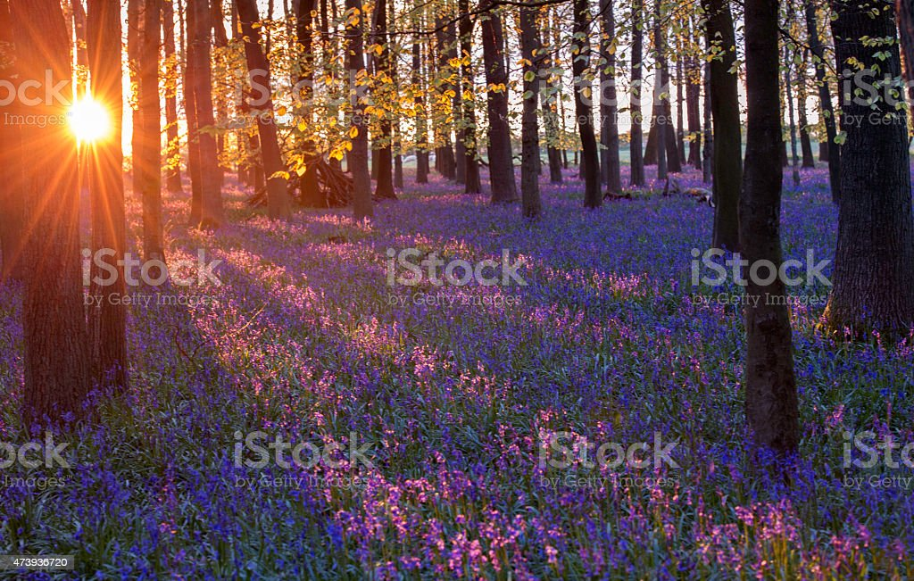 Bluebells in woodland stock photo