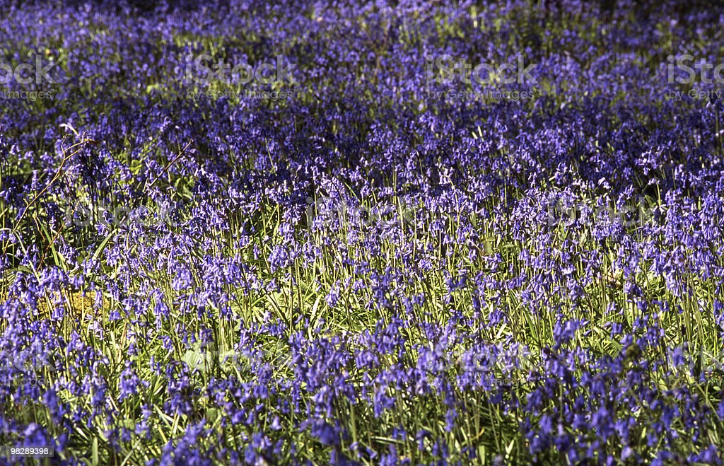 Bluebells in woodland royalty-free stock photo