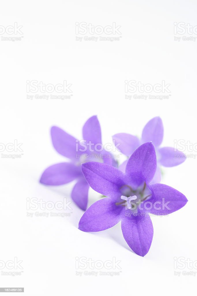 bluebells isolated on white/  Campanula carpatica stock photo