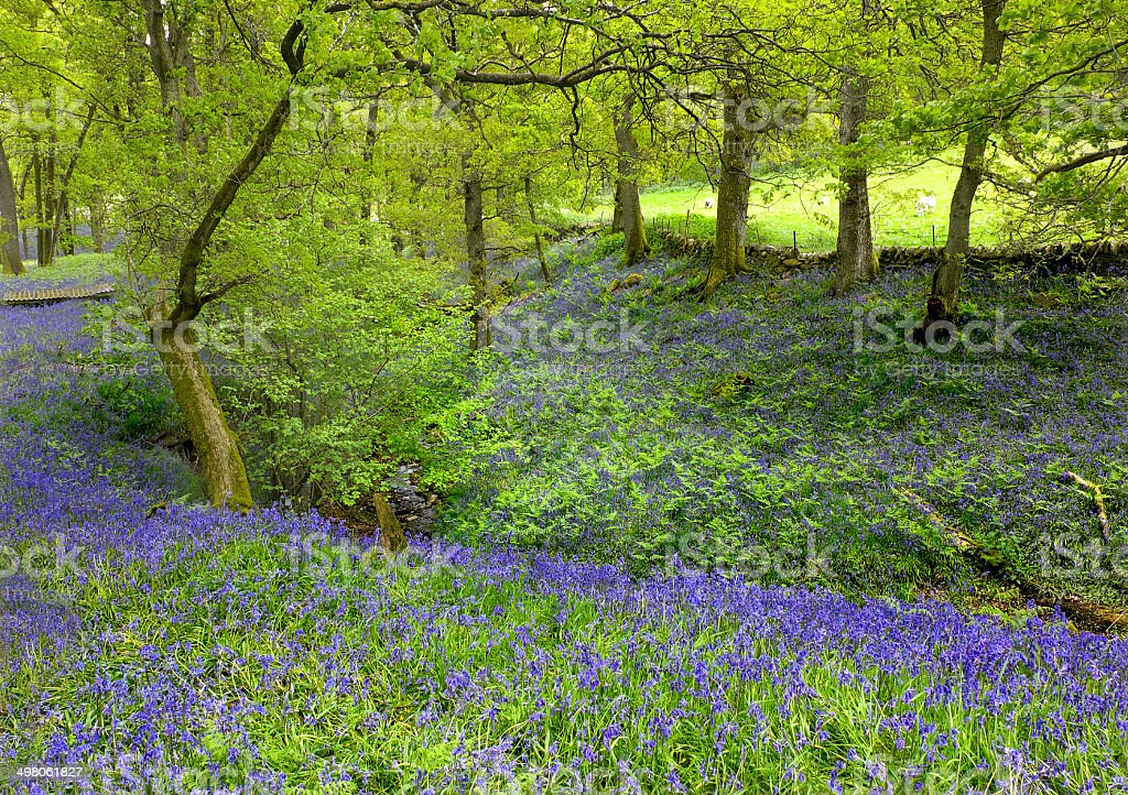 Bluebells, Kinnaird Woods stock photo