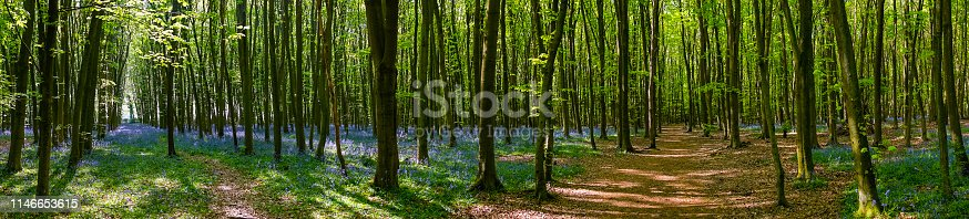 Bluebells growing in a beautiful beechwood in Buckinghamshire.