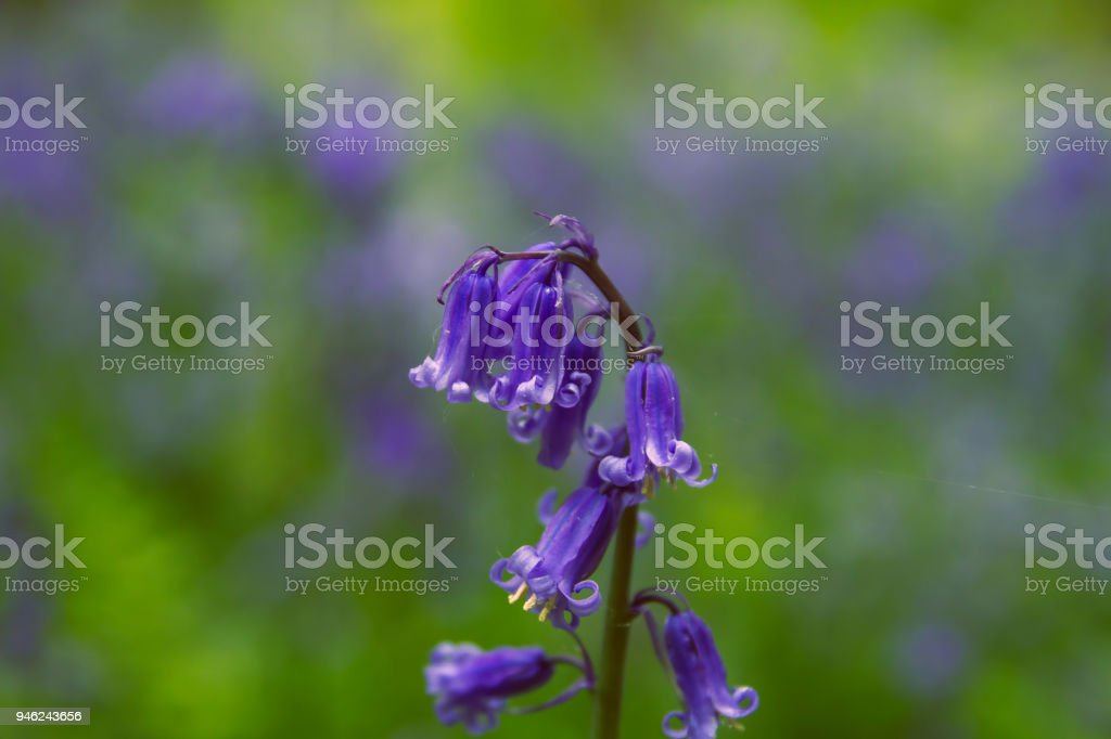 bluebells or hyacinthoides non scripta stock photo