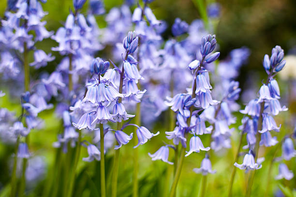 Bluebells A carpet of bluebells taken in Hertfordshire, England. Shallow depth of field. bluebell stock pictures, royalty-free photos & images