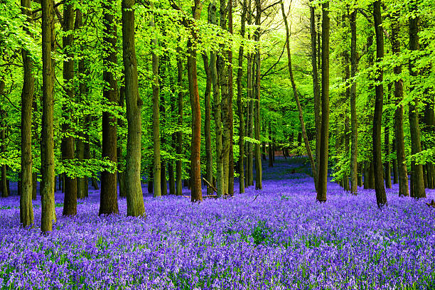 Bluebells Blooming Bluebells in Dockey Wood, England bluebell stock pictures, royalty-free photos & images