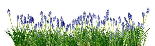bluebells spring easter garden border with bluebells isolated over white bluebell stock pictures, royalty-free photos & images