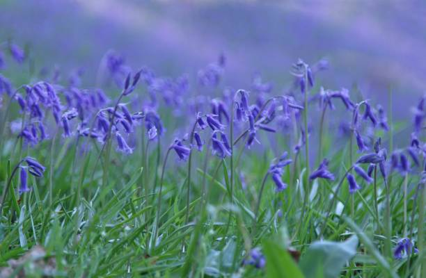 bluebells bluebells bluebell stock pictures, royalty-free photos & images