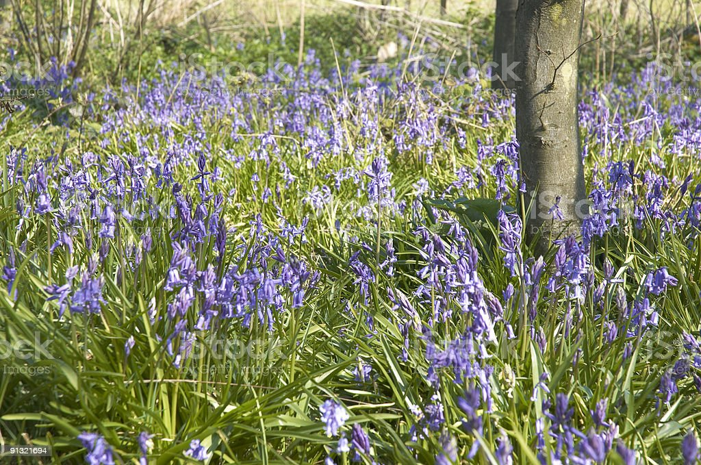 Bluebells royalty-free stock photo