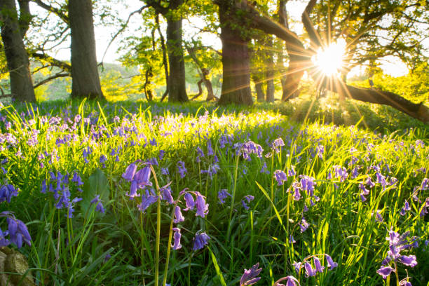 BlueBells, Springtime Wildflowers. Bluebells from the woodlands of Old England. Bluebells are a delicate blue flower on a fine green stem. Native Bluebells of England droop at the top of the stem under the weight of the blooming flower heads. bluebell stock pictures, royalty-free photos & images