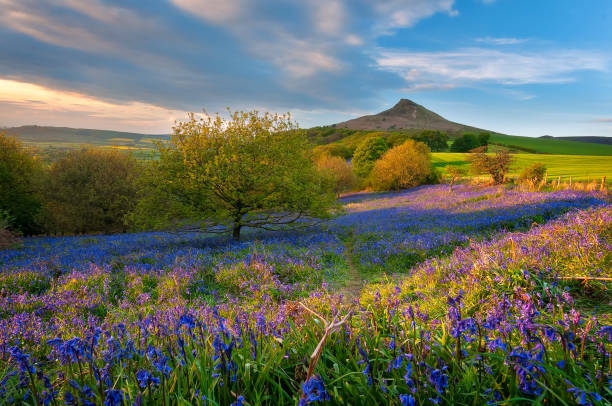 Bluebells under Roseberry Topping North York Moors National Park, North Yorkshire, UK bluebell stock pictures, royalty-free photos & images
