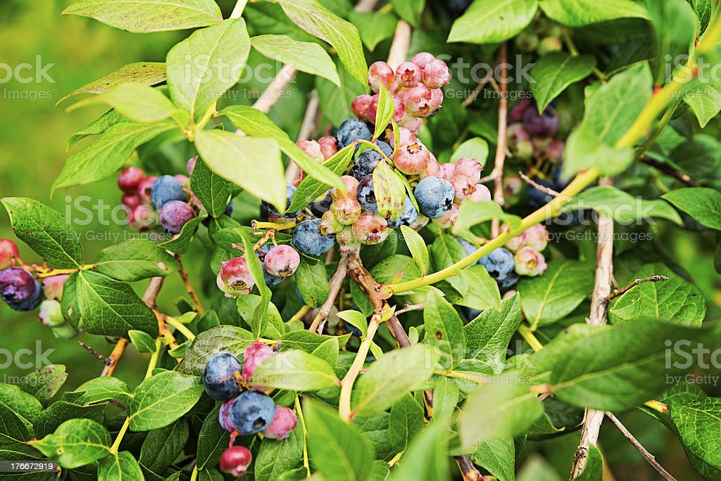 Blueberries at diverse stages of ripening on the tree. royalty-free stock photo